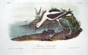 Audubon American Avocet