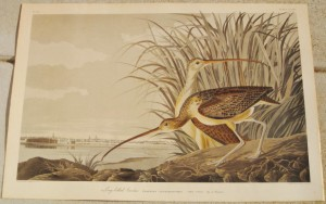 Audubon Long Billed (1)