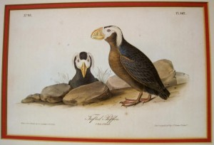 Audubon Tufted Puffin