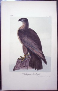 Audubon Washington Sea Eagle