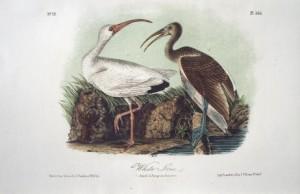 Audubon White Ibis