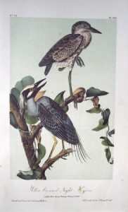 Audubon Yellow Crowned