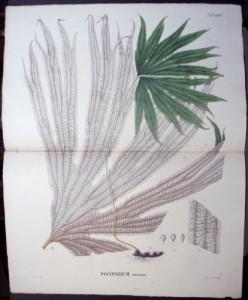 Blume Polypodium LXXXI