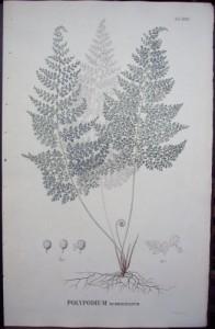 Blume Polypodium XCIII